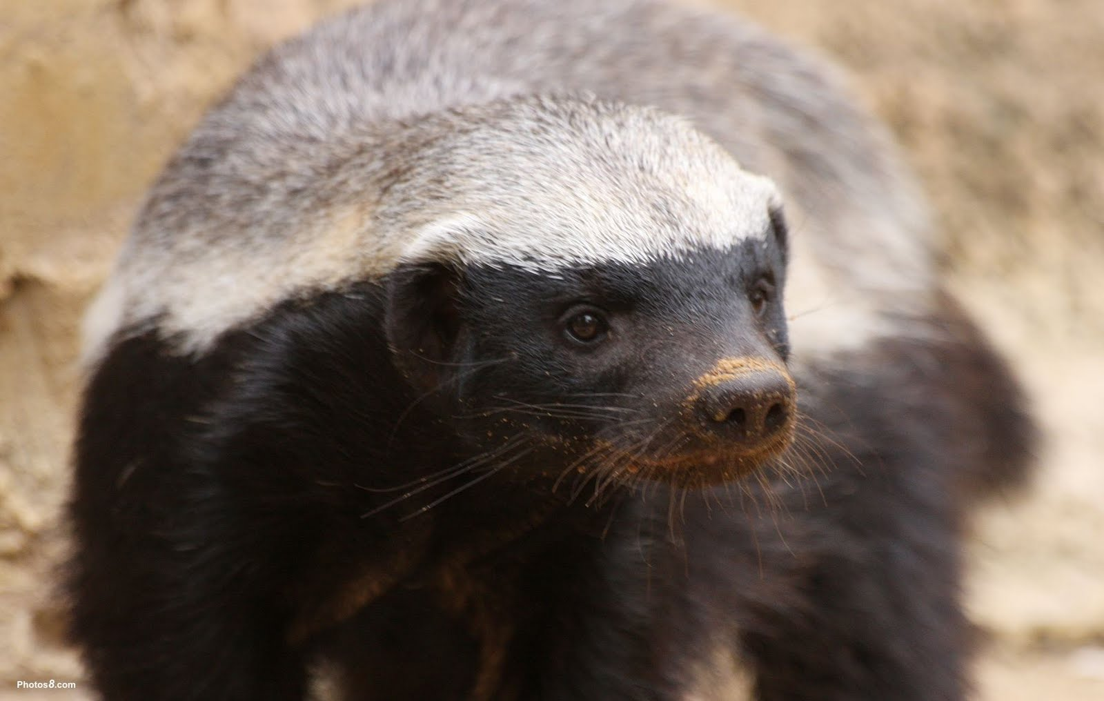 Is there anything the Honey Badger does care about ...